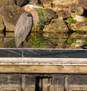charles-simms-heron